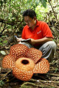 большой цветок раффлезия Арнольда